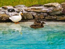 Duck family is relaxing by the lake stock photos
