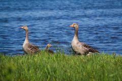 Duck family relaxing by the river. Duck family relaxing at a river side during spring time Royalty Free Stock Photo
