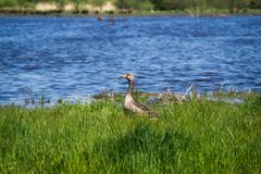 Duck family relaxing by the river. Duck family relaxing at a river side during spring time Stock Photo