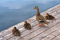 Duck Family Resting on a Dock. Young ducklings sitting and resting on a dock Stock Photo