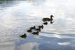Duck family - silhouettes. Duck family in water stock photos