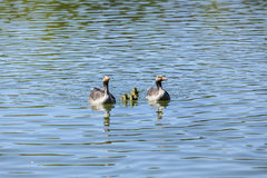 Duck family on a sunny day on the lake Stock Images