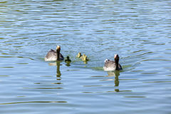 Duck family on a sunny day on the lake Royalty Free Stock Images