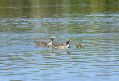 Duck family on a sunny day on the lake. Duck family swims on a sunny day at the lake royalty free stock photos