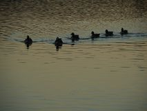 Duck Family. A duck family swimming forward on a lake that`s reflecting sunset last lights . Impressionist look stock photo