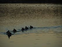 Duck Family. A duck family swimming forward on a lake that`s reflecting sunset last lights . Impressionist look royalty free stock photography