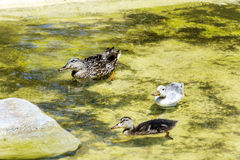 Duck family swimming in the lake. Mother mallard duck keeps her baby ducks close in the water Royalty Free Stock Photography