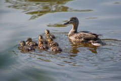 Duck Family Swimming Royalty Free Stock Image