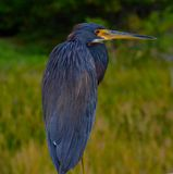 Tri-Colored Heron Bird Royalty Free Stock Photo