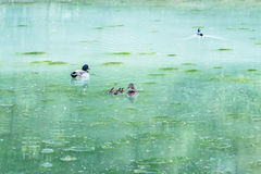 Duck family swimming in a turquoise lake. Covered with algae Stock Photos