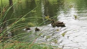 Duck family swims away near lake grass. Mother duck and two ducklings swim in pacific northwest lake stock video