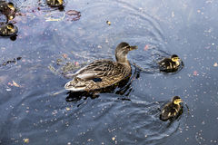 Duck family. Swims in the lake in afternoon light Stock Image