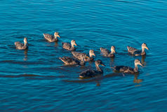 Duck family swims on lake surface. Duck family on lake surface stock photos