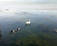 Duck family Royalty Free Stock Photos
