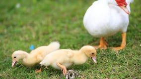 Duck family walking on farm