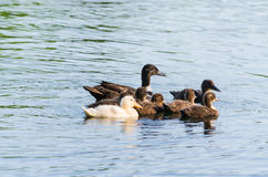 Duck family in the water. Ducklings in the first swimming attempt Royalty Free Stock Images