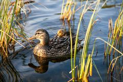 Duck family in the water. With grass. Summer time stock photography