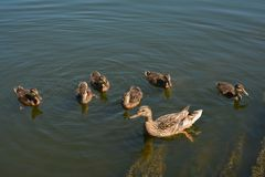 Duck family. On water in a pond stock photo