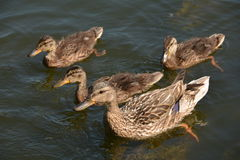 Duck family Stock Image