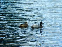 Duck family on the water royalty free stock photos