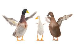 Duck. Family duck on a white background stock photography
