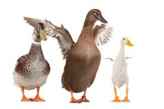 Duck. Family duck on a white background stock images