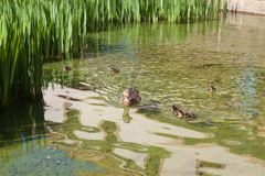 Duck family in wild nature. Duck mother with little ducklings swim in lake among green grass in spring time stock photo