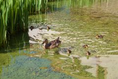 Duck family in wild nature. Duck mother with little ducklings swim in lake among green grass in spring time stock photos