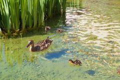 Duck family in wild nature. Duck mother with little ducklings swim in lake among green grass in spring time royalty free stock photo