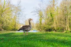 Goose on the shore of a lake royalty free stock photos