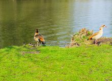 Duck family with young animals on the shore of a lake. On a sunny day royalty free stock photos