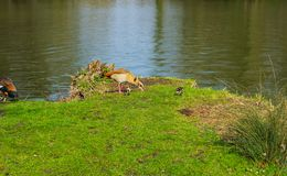 Duck family with young animals on the shore of a lake. On a sunny day royalty free stock photography