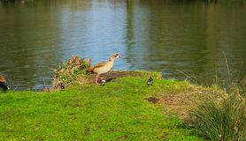 Duck family with young animals on the shore of a lake. On a sunny day stock photo