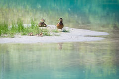 Duck family with young babies at river bank with grass. And blue water royalty free stock photo