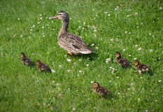 Duck family young following mother mallard bird on grass. Ducks walking on grass baby newborn and mother birds Stock Photo