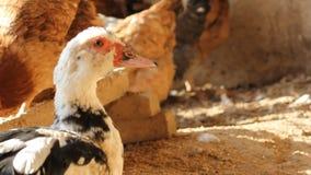 Duck on the farm. A duck on the farm stock video footage