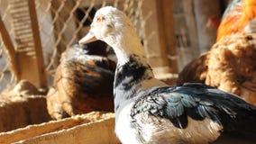 Duck on the farm. A duck on the farm stock video