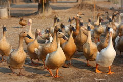 Free Duck Farm Royalty Free Stock Images - 44469289