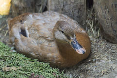 Duck in the farm. A duck in the farm Royalty Free Stock Image