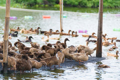 Duck in farm, eat and swimming in marsh. Traditional farming in Thailand Royalty Free Stock Photos