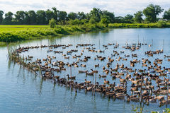 Duck in farm, eat and swimming in marsh. Traditional farming in Thailand Royalty Free Stock Image