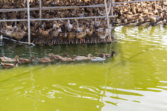 Duck in farm, eat and swimming in marsh. Traditional farming in Thailand Royalty Free Stock Images