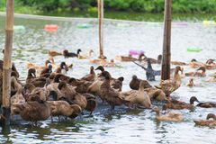 Duck in farm, eat and swimming in marsh. Traditional farming in Thailand Stock Photo