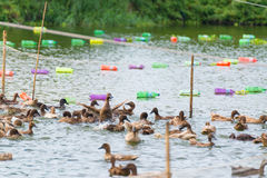 Duck in farm, eat and swimming in marsh. Traditional farming in Thailand Stock Photos