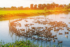 Duck in farm, eat and swimming in marsh. Traditional farming in Thailand, soft tone Stock Images