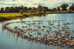 Duck in farm, eat and swimming in marsh. Traditional farming in Thailand, vintage tone Royalty Free Stock Photo