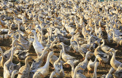 Duck in farm. Eat and swimming in marsh, traditional farming in Vietnam Stock Photos
