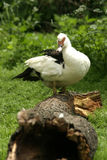 Duck. Farm. Duck on the grass Royalty Free Stock Photo
