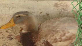 Duck on farm stock video footage