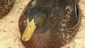 Duck on farm stock footage